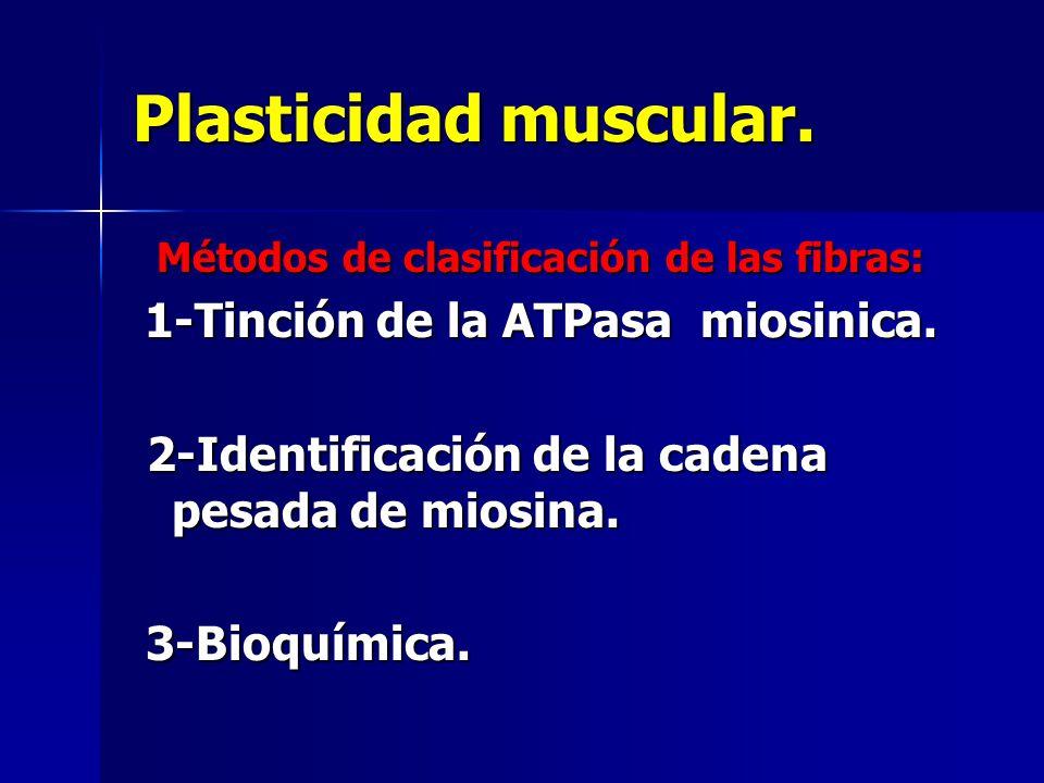Plasticidad muscular. 2-Identificación de la cadena pesada de miosina.