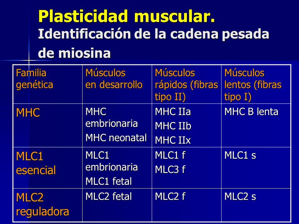 Plasticidad muscular. Identificación de la cadena pesada de miosina