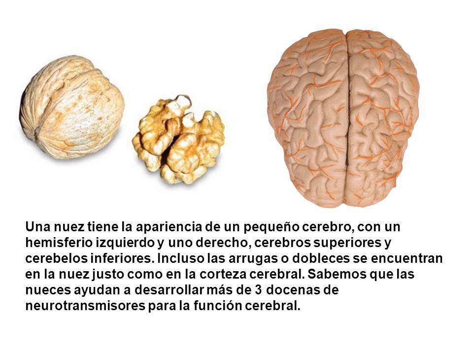 Una nuez tiene la apariencia de un pequeño cerebro, con un hemisferio izquierdo y uno derecho, cerebros superiores y cerebelos inferiores.