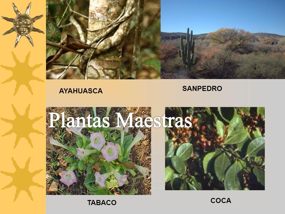 AYAHUASCA SANPEDRO Plantas Maestras COCA TABACO