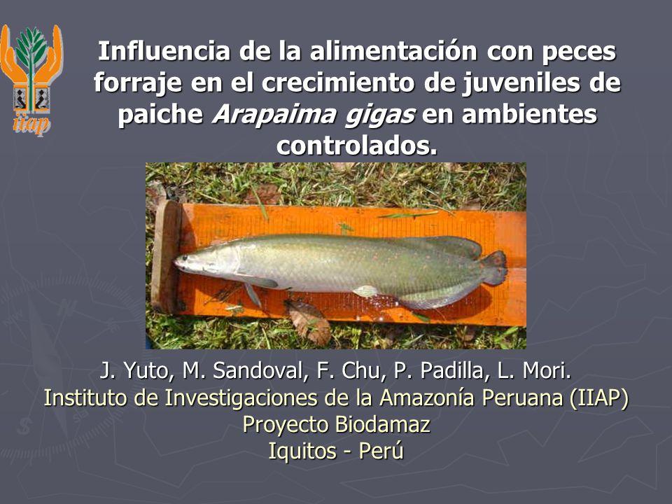 Influencia de la alimentación con peces forraje en el crecimiento de juveniles de paiche Arapaima gigas en ambientes controlados.