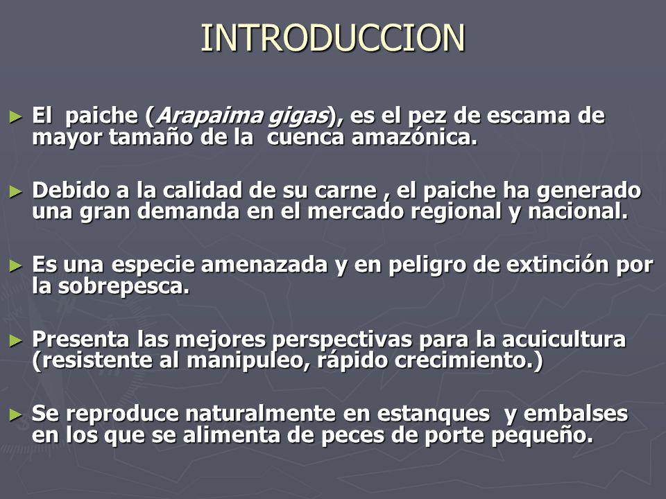 INTRODUCCION El paiche (Arapaima gigas), es el pez de escama de mayor tamaño de la cuenca amazónica.