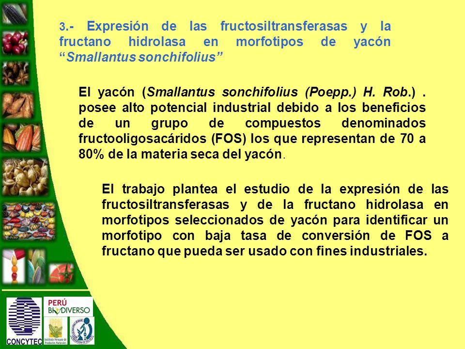 3.- Expresión de las fructosiltransferasas y la fructano hidrolasa en morfotipos de yacón Smallantus sonchifolius