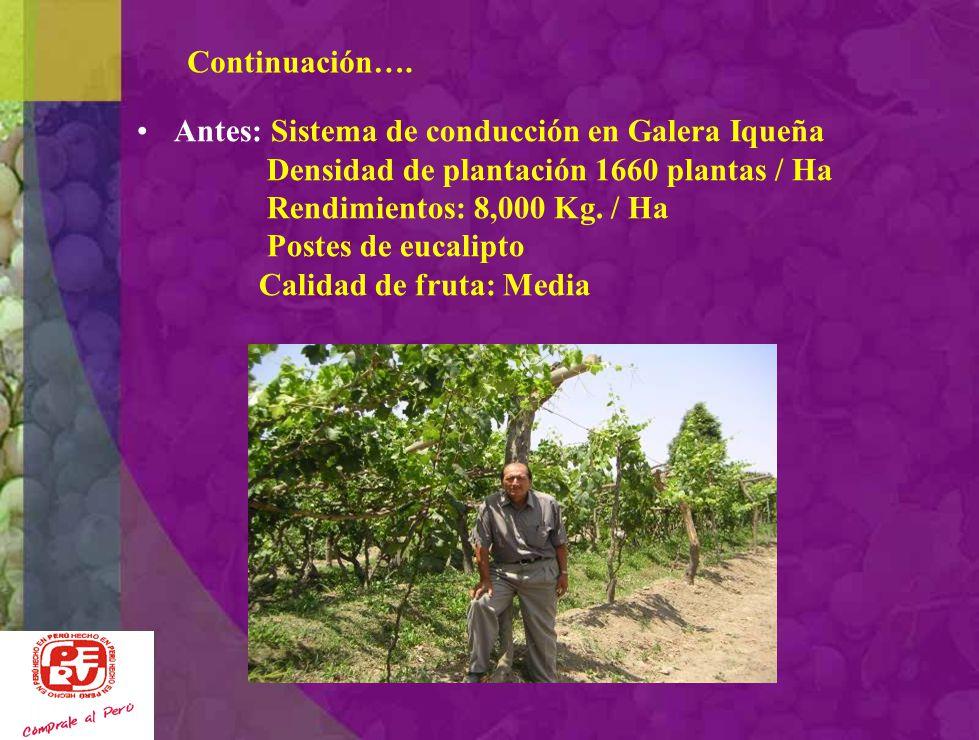 Continuación…. Antes: Sistema de conducción en Galera Iqueña. Densidad de plantación 1660 plantas / Ha.