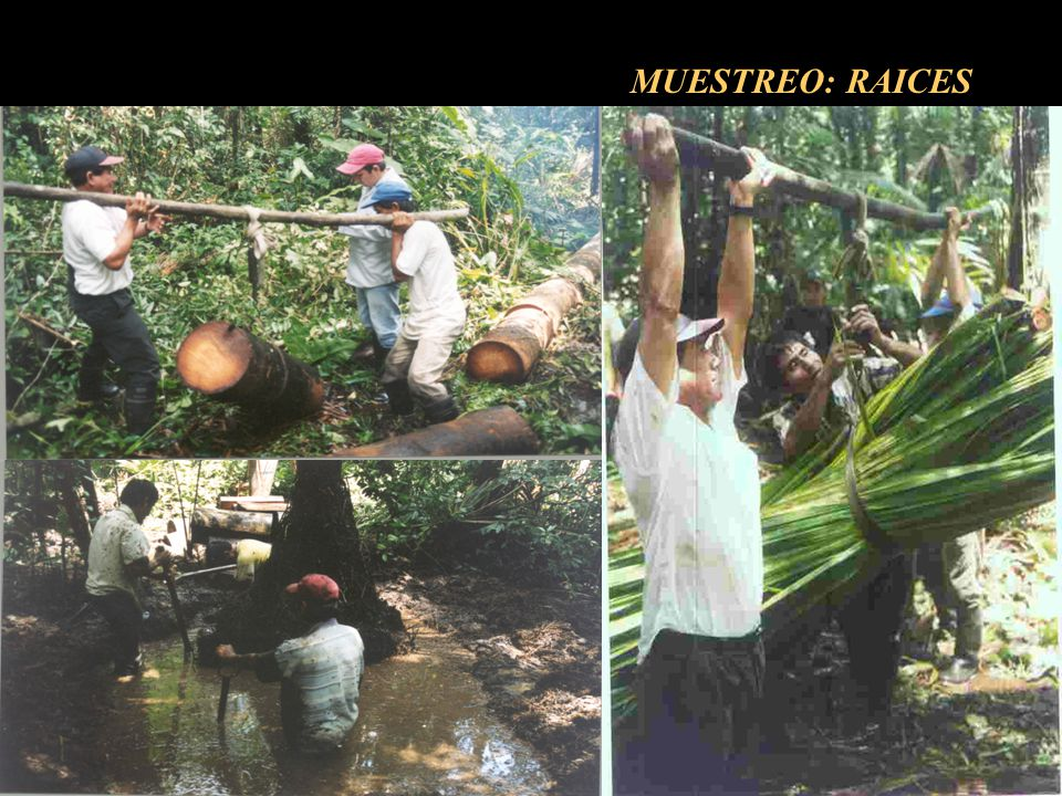 MUESTREO: RAICES
