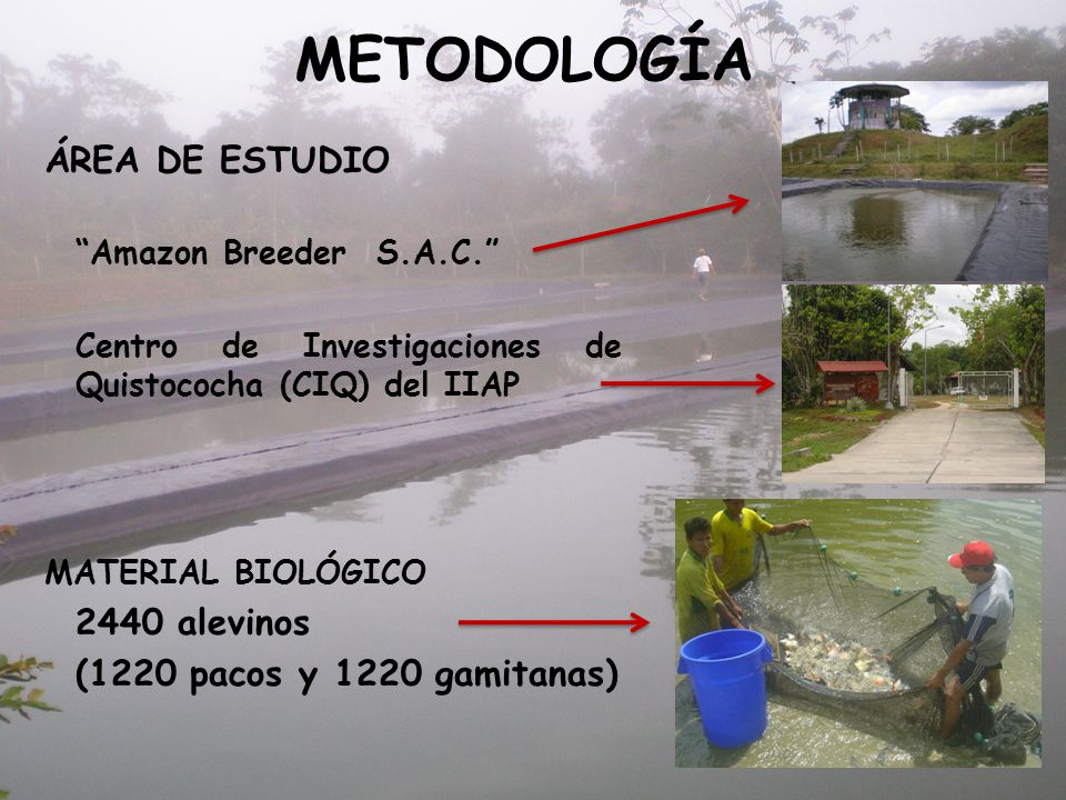 METODOLOGÍA ÁREA DE ESTUDIO (1220 pacos y 1220 gamitanas)