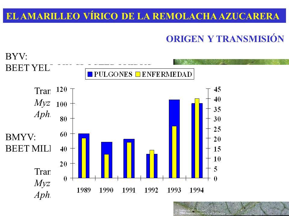 EL AMARILLEO VÍRICO DE LA REMOLACHA AZUCARERA