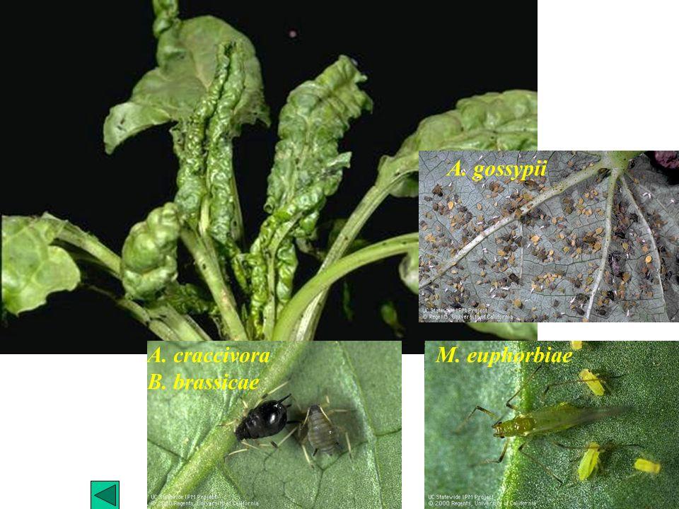 A. gossypii A. craccivora B. brassicae M. euphorbiae