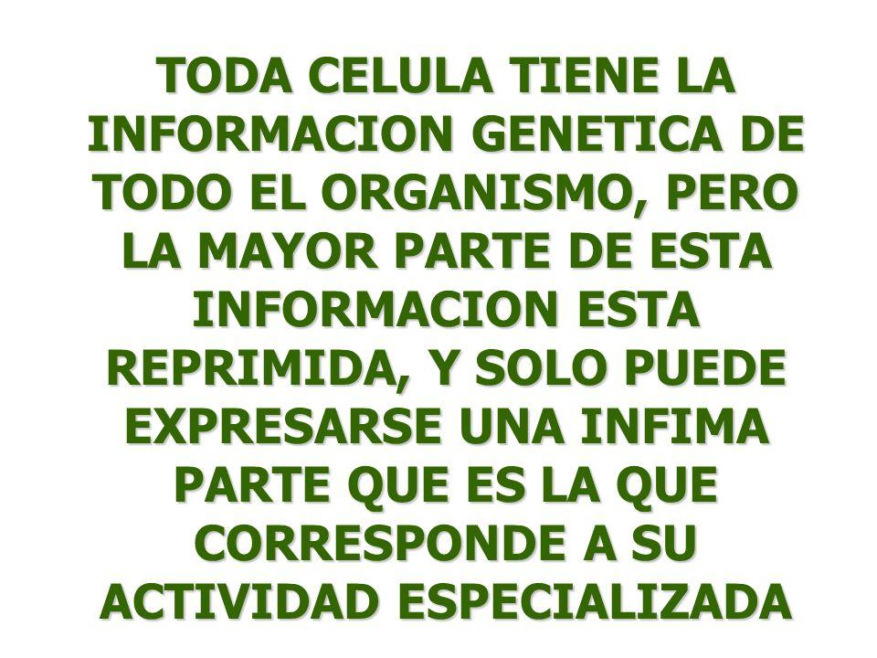 TODA CELULA TIENE LA INFORMACION GENETICA DE TODO EL ORGANISMO, PERO LA MAYOR PARTE DE ESTA INFORMACION ESTA REPRIMIDA, Y SOLO PUEDE EXPRESARSE UNA INFIMA PARTE QUE ES LA QUE CORRESPONDE A SU ACTIVIDAD ESPECIALIZADA