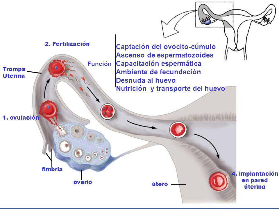 Captación del ovocito-cúmulo Ascenso de espermatozoides
