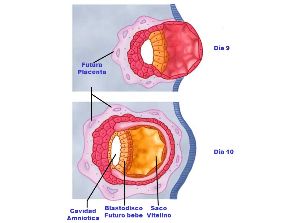 Día 9 Futura Placenta Día 10 Blastodisco Futuro bebe Saco Vitelino Cavidad Amniotica