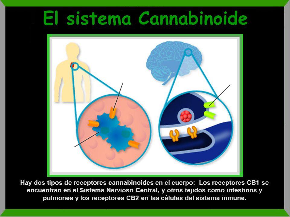 El sistema Cannabinoide