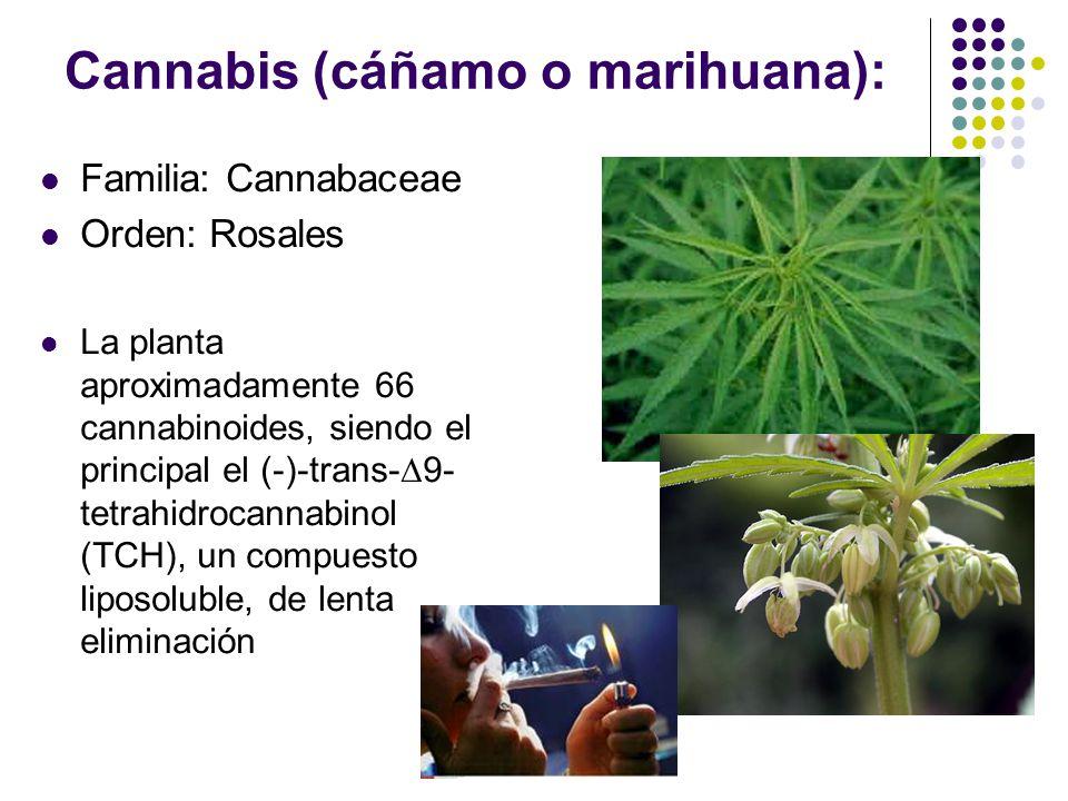 Cannabis (cáñamo o marihuana):