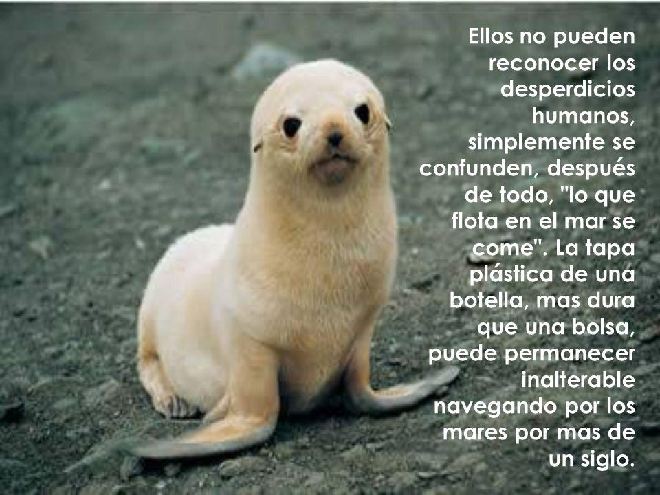 Ellos no pueden reconocer los desperdicios humanos, simplemente se confunden, después de todo, lo que flota en el mar se come .