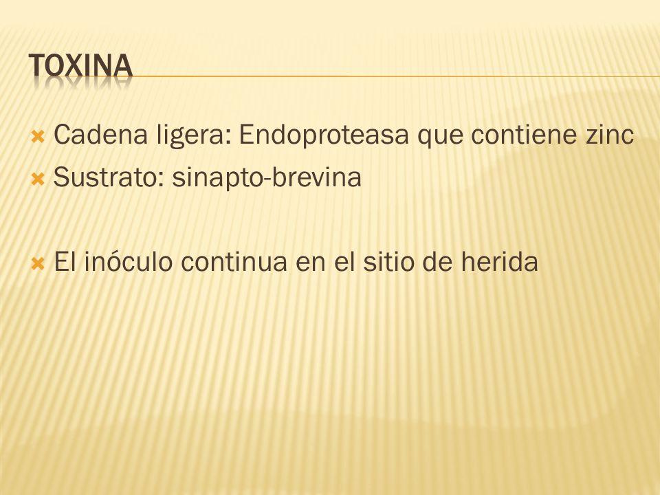Toxina Cadena ligera: Endoproteasa que contiene zinc