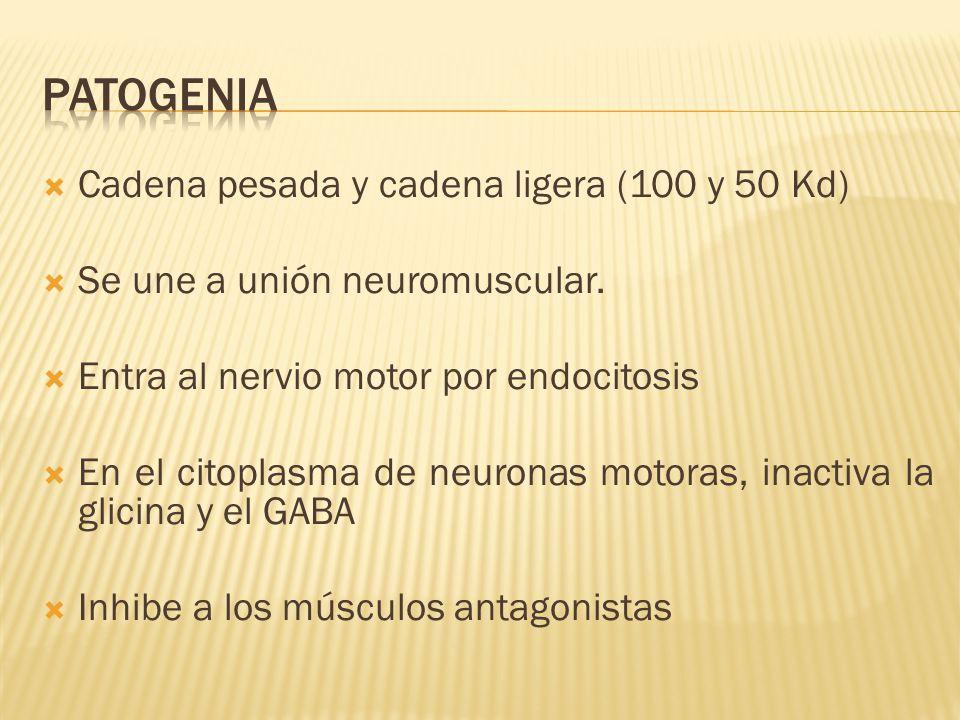 patogenia Cadena pesada y cadena ligera (100 y 50 Kd)