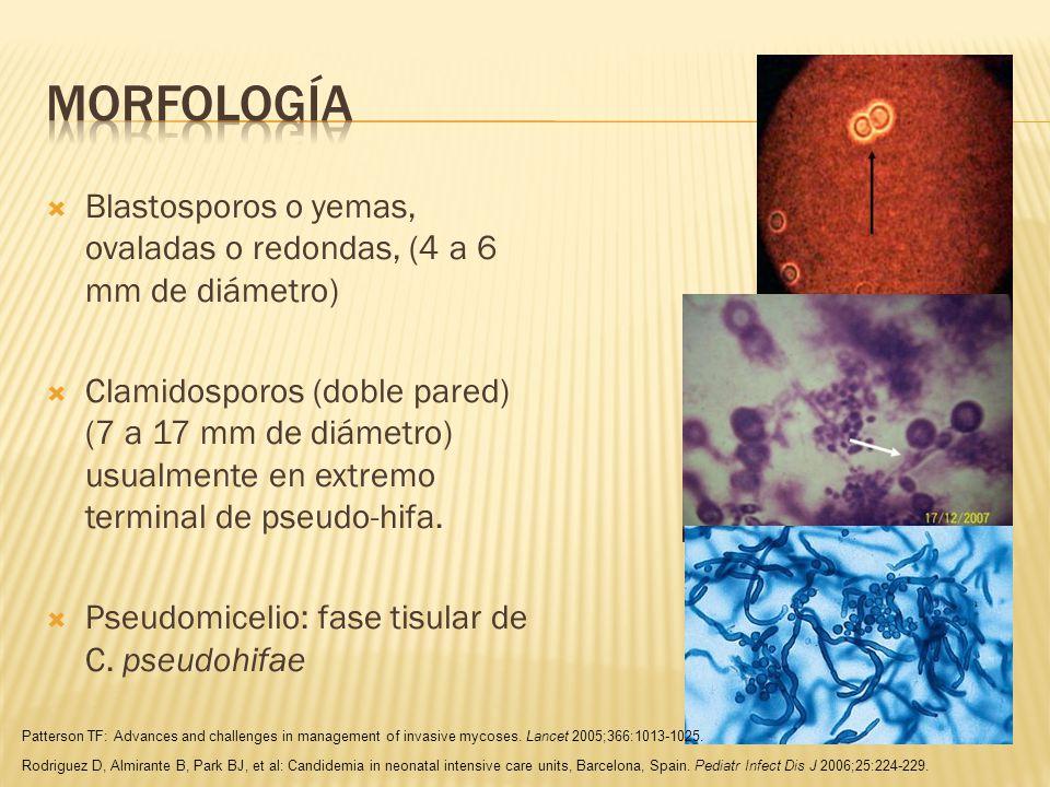 morfología Blastosporos o yemas, ovaladas o redondas, (4 a 6 mm de diámetro)