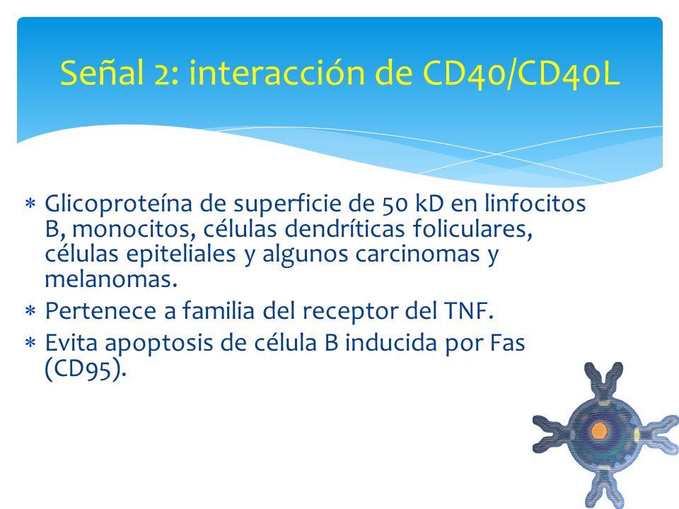 Señal 2: interacción de CD40/CD40L
