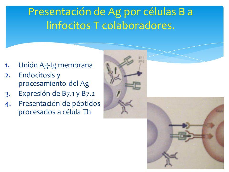 Presentación de Ag por células B a linfocitos T colaboradores.