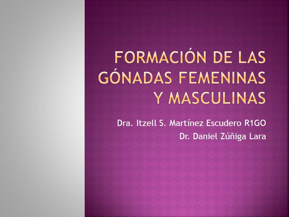 Formación de las gónadas femeninas y masculinas