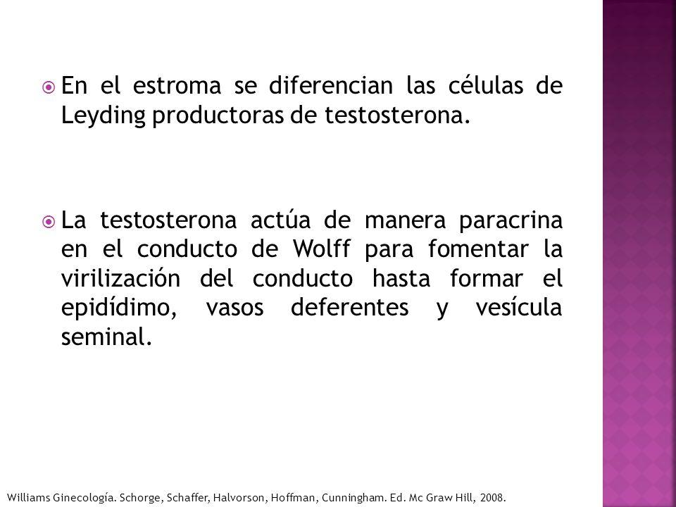 En el estroma se diferencian las células de Leyding productoras de testosterona.