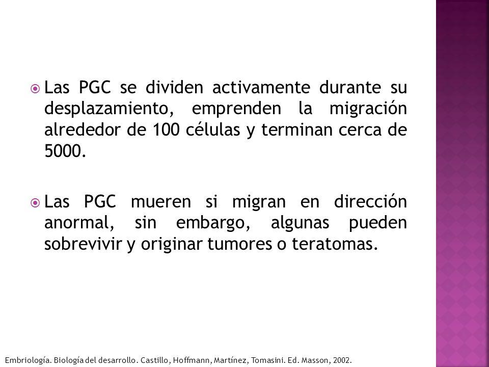 Las PGC se dividen activamente durante su desplazamiento, emprenden la migración alrededor de 100 células y terminan cerca de 5000.