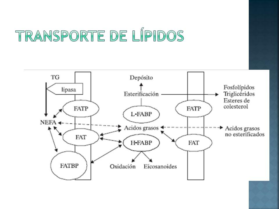 Transporte de Lípidos