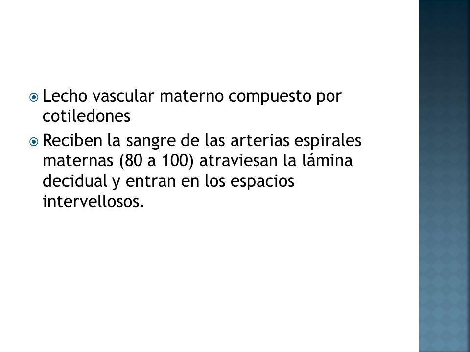 Lecho vascular materno compuesto por cotiledones
