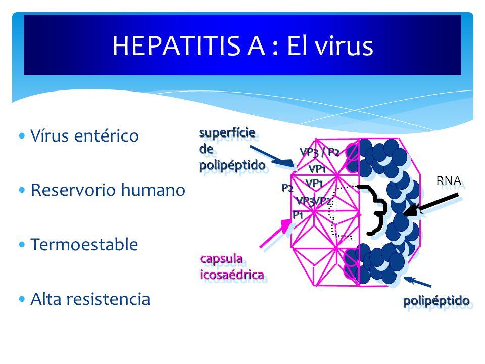 HEPATITIS A : El virus Vírus entérico Reservorio humano Termoestable