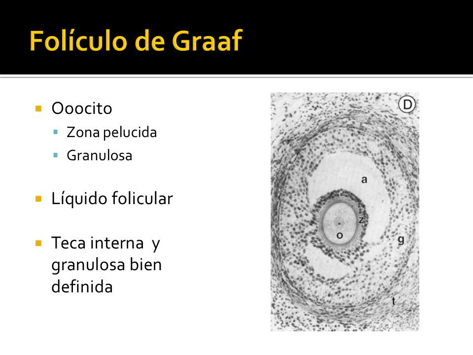 Folículo de Graaf Ooocito Líquido folicular