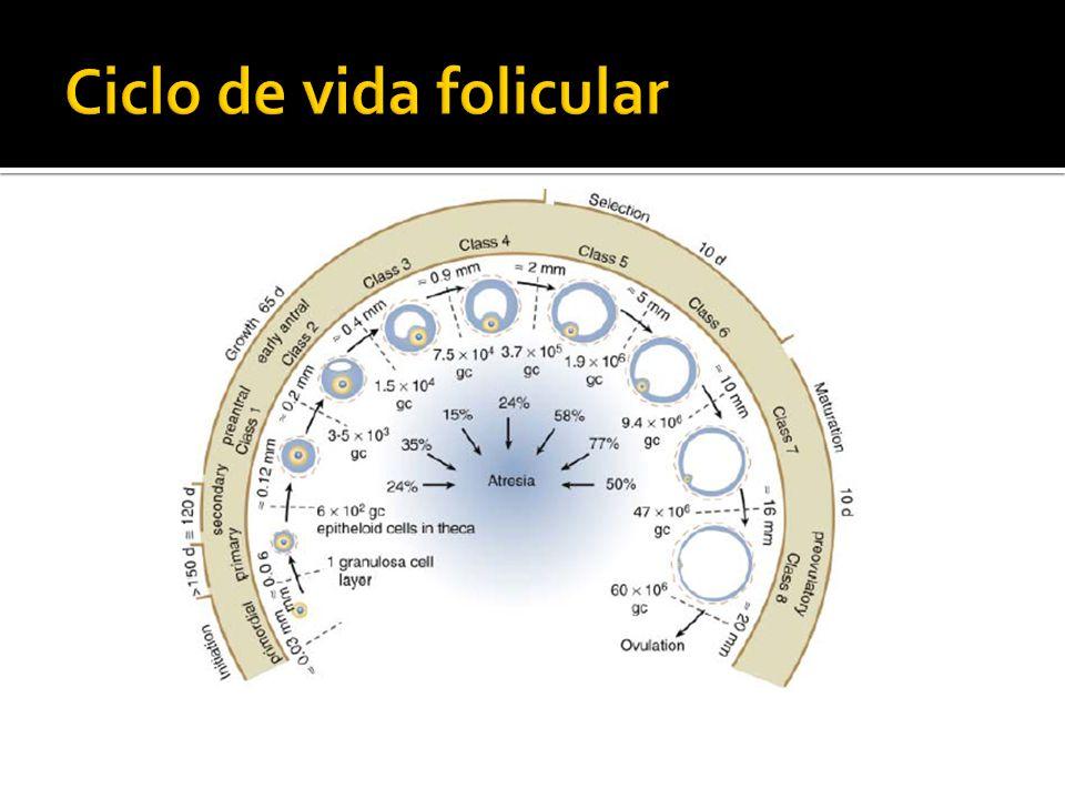 Ciclo de vida folicular