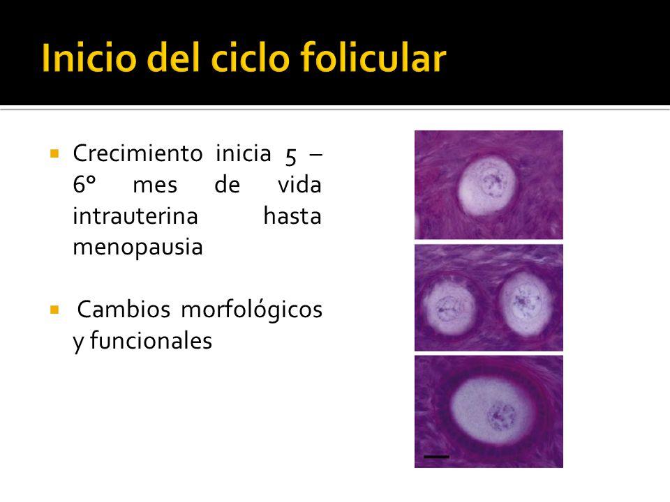 Inicio del ciclo folicular