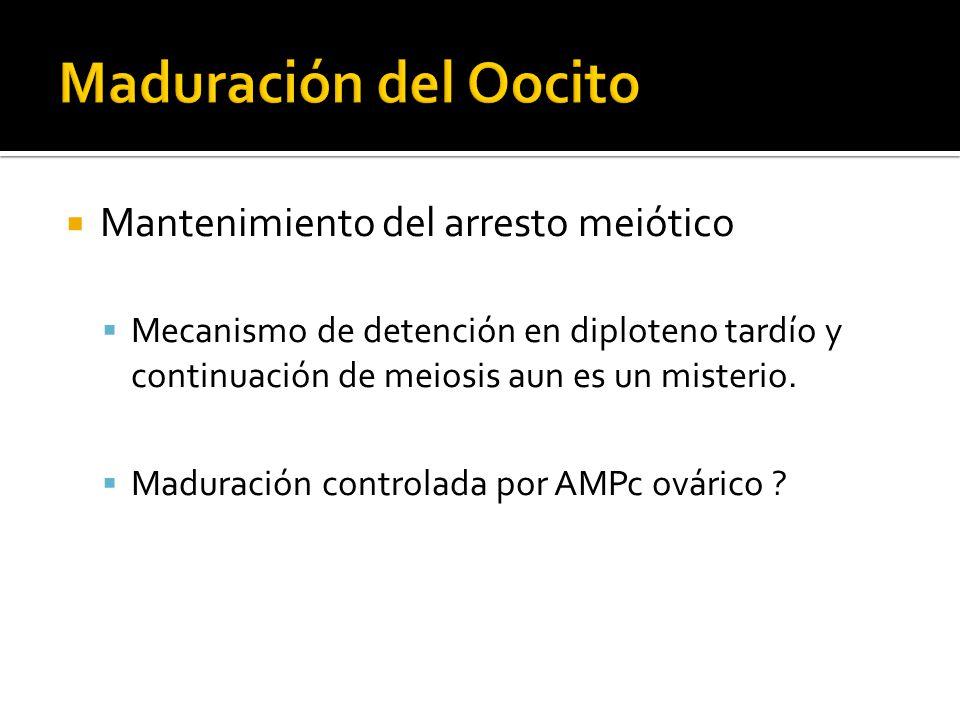 Maduración del Oocito Mantenimiento del arresto meiótico