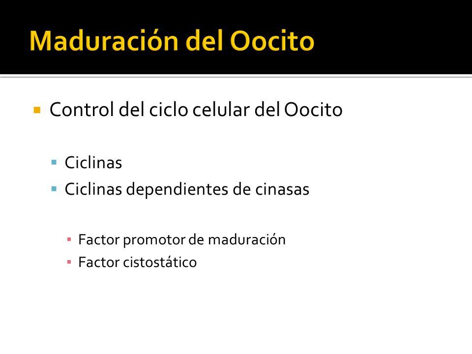 Maduración del Oocito Control del ciclo celular del Oocito Ciclinas