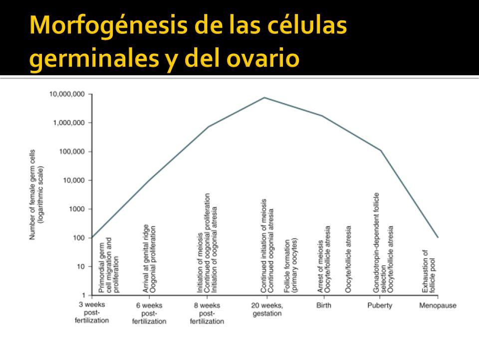 Morfogénesis de las células germinales y del ovario