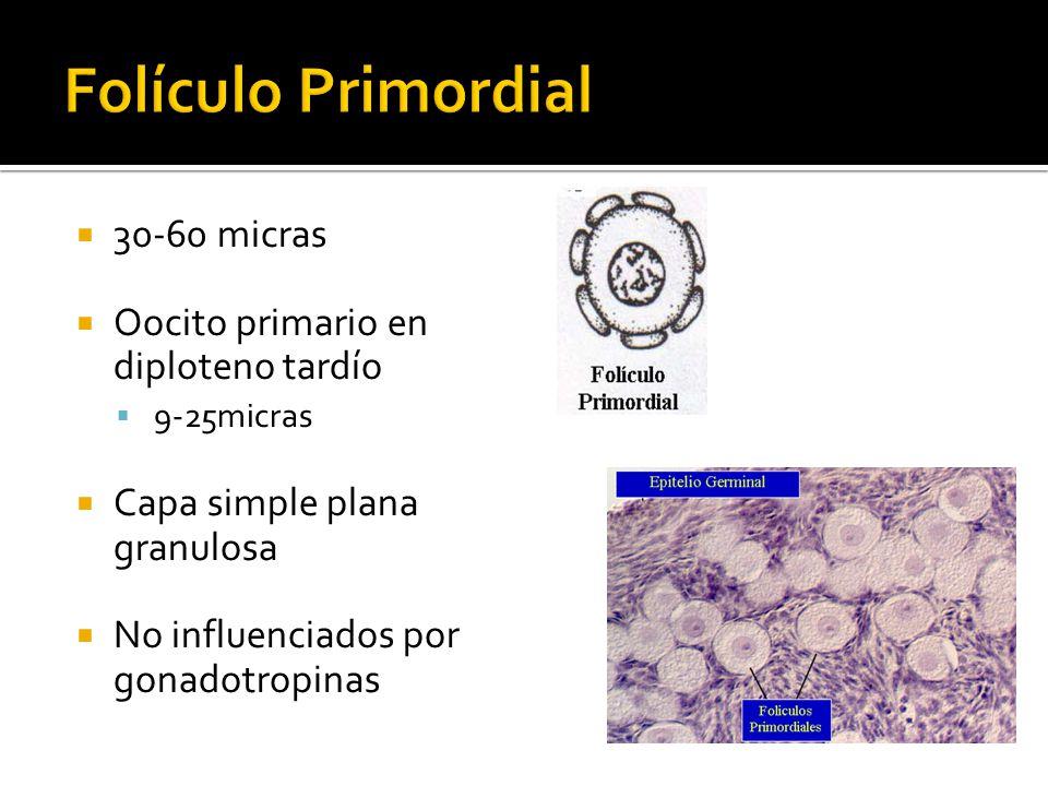 Folículo Primordial 30-60 micras Oocito primario en diploteno tardío
