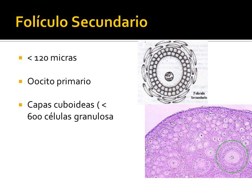 Folículo Secundario < 120 micras Oocito primario