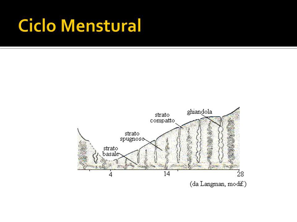 Ciclo Menstural