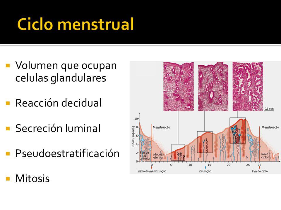 Ciclo menstrual Volumen que ocupan celulas glandulares