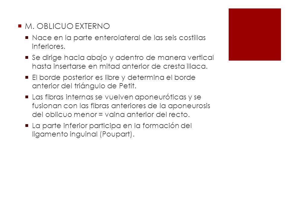 M. OBLICUO EXTERNO Nace en la parte enterolateral de las seis costillas inferiores.