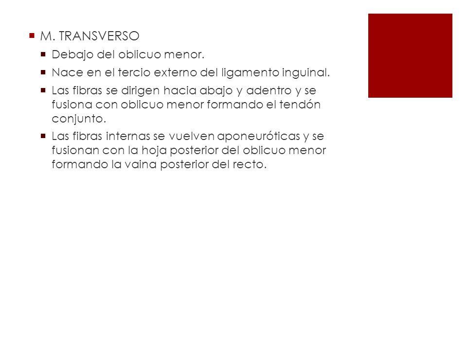 M. TRANSVERSO Debajo del oblicuo menor.
