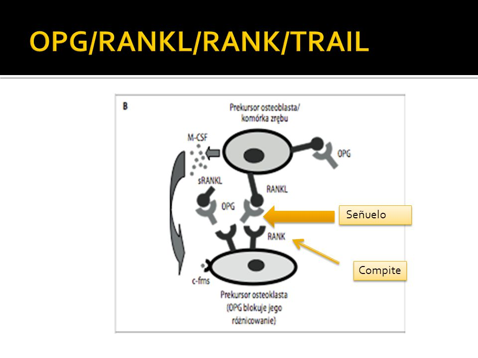 OPG/RANKL/RANK/TRAIL