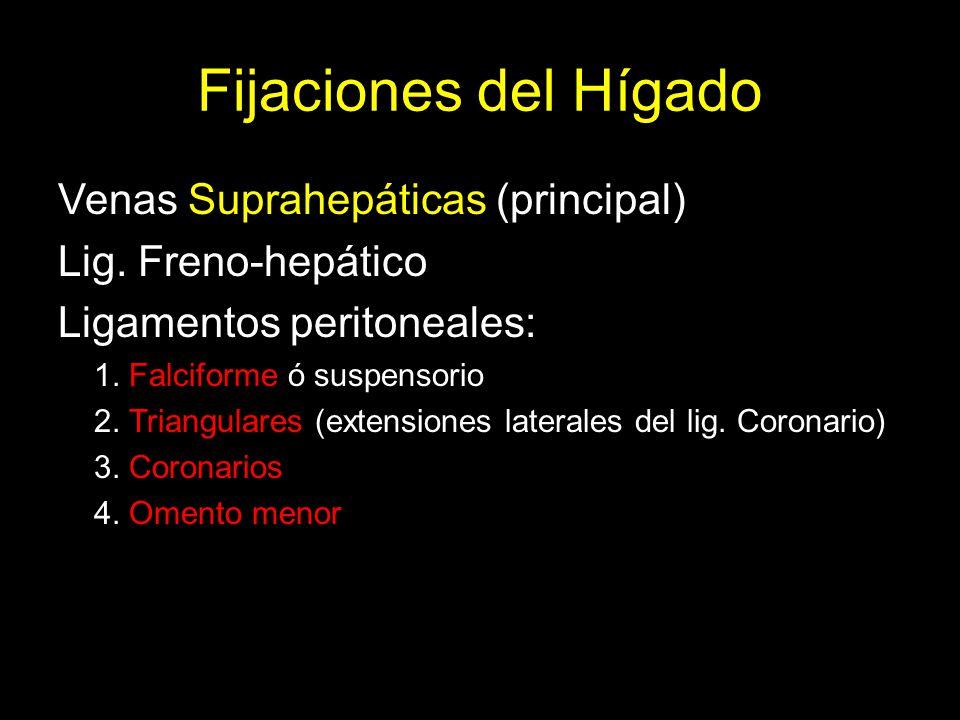 Fijaciones del Hígado Venas Suprahepáticas (principal)