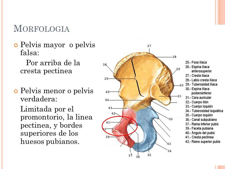 Morfologia Pelvis mayor o pelvis falsa: