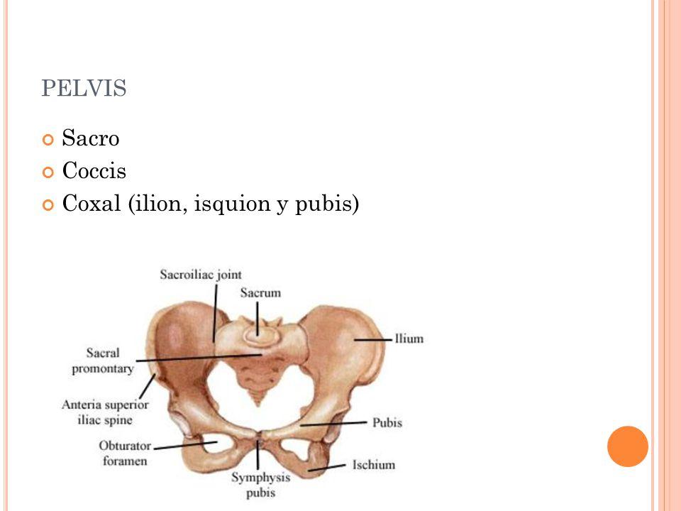 pelvis Sacro Coccis Coxal (ilion, isquion y pubis)