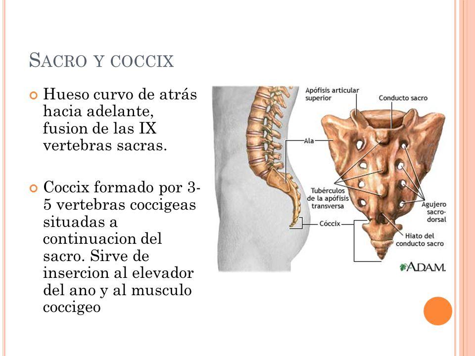 Sacro y coccix Hueso curvo de atrás hacia adelante, fusion de las IX vertebras sacras.