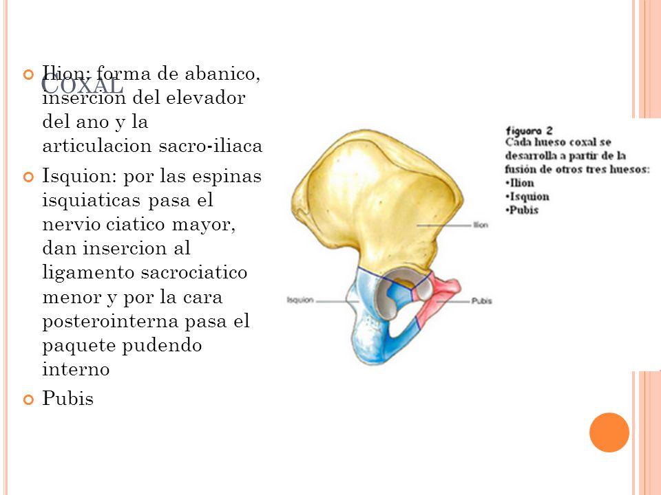 Coxal Ilion: forma de abanico, insercion del elevador del ano y la articulacion sacro-iliaca.