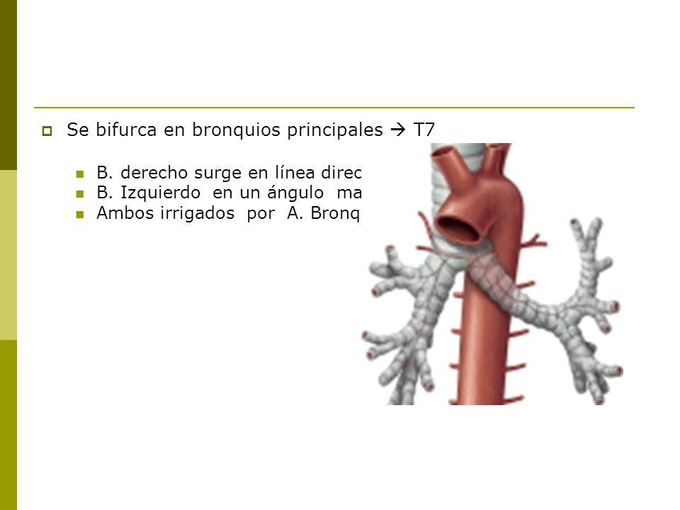 Se bifurca en bronquios principales  T7