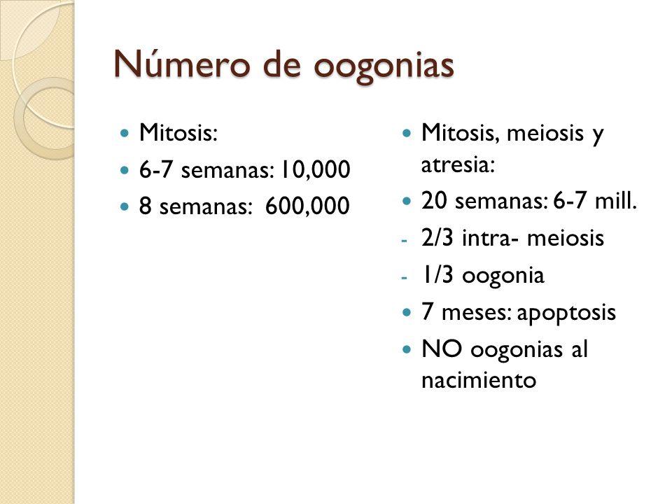 Número de oogonias Mitosis: 6-7 semanas: 10,000 8 semanas: 600,000