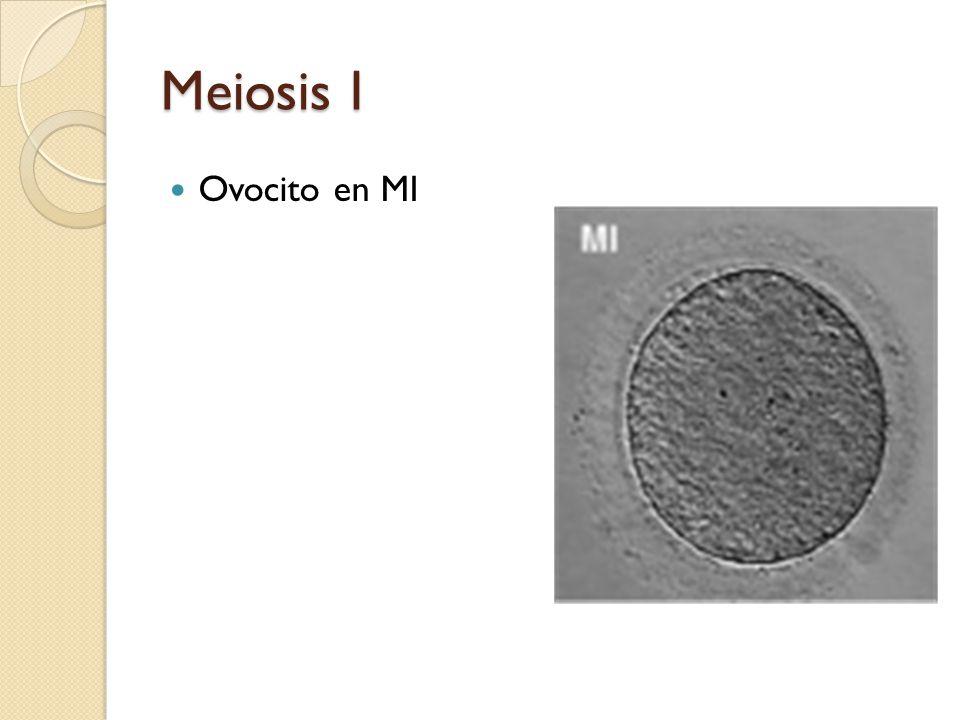 Meiosis I Ovocito en MI